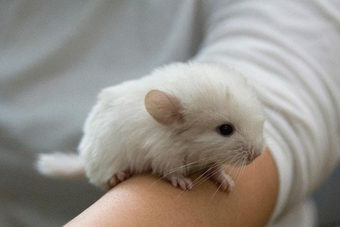 Cute-Chinchillas-Rodents-9