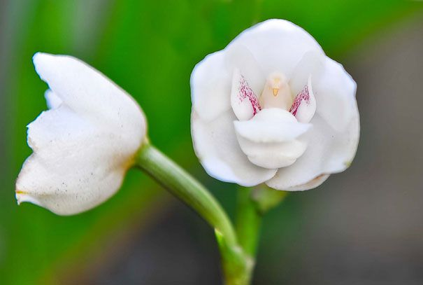 Dove-Orchid-Or-Holy-Ghost-Orchid-Peristeria-Elata