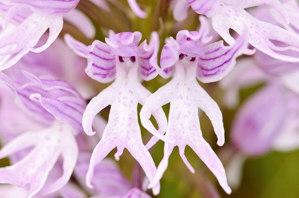 Naked-Man-Orchid-Orchis-Italica