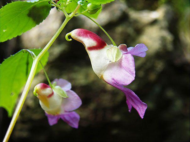 Parrot-Flower-Impatiens-Psittacina