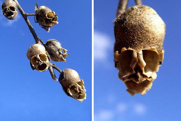 Snap-Dragon-Seed-Pod-Antirrhinum