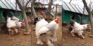 World's Biggest Chicken Brahmans