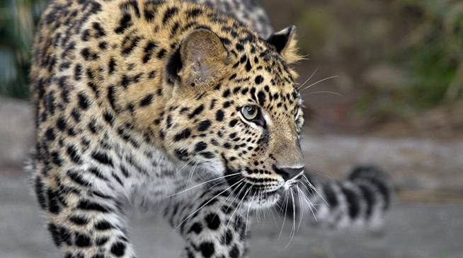 Endangered-Animal-Amur-Leopard