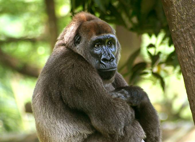 Endangered-Animal-Cross-River-Gorilla