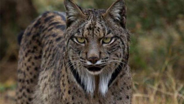 Endangered-Animal-Iberian-Lynx