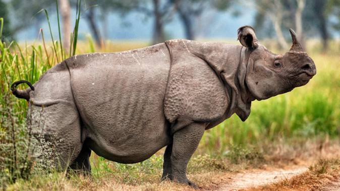 Endangered-Animal-Javan-Rhinoceros