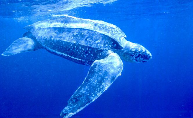 Endangered-Animal-Leatherback-Sea-Turtle