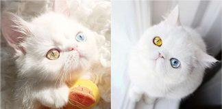 Kitten-With-Heterochromia-324x160