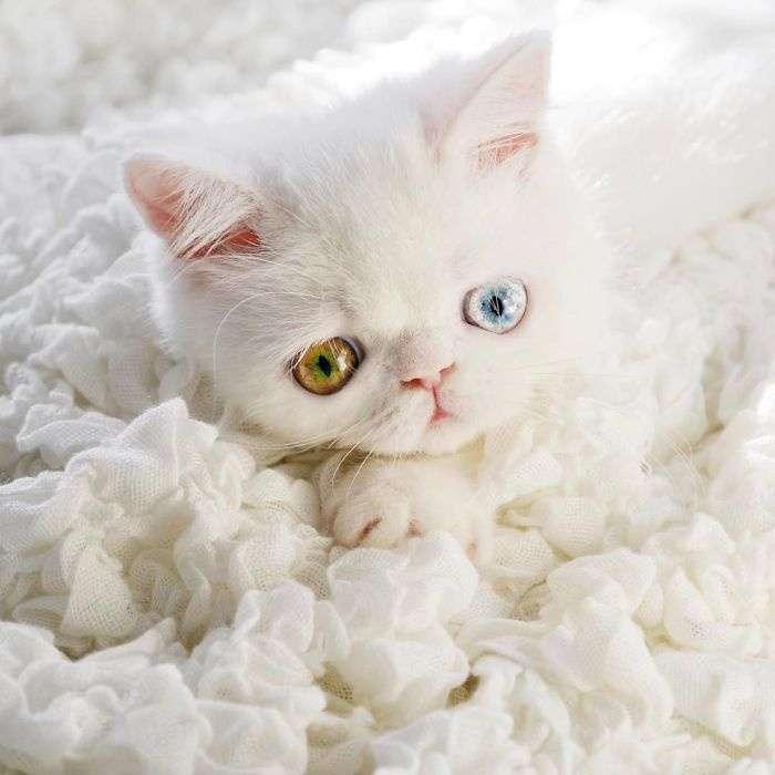Kitten-With-Heterochromia-7