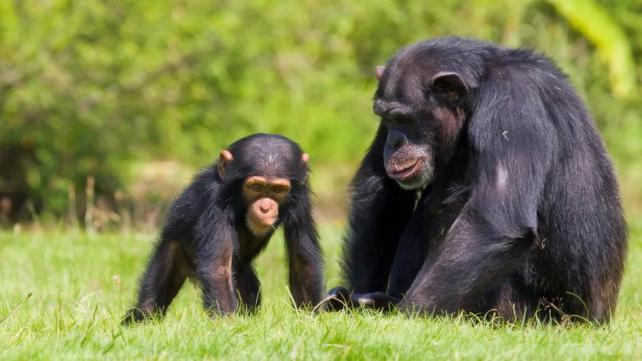 Smart-Animal-Chimpanzees