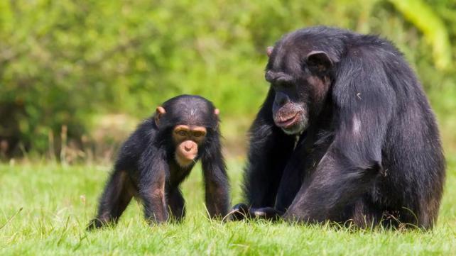 Smart-Animal-Chimpanzees