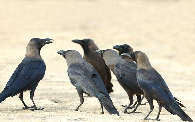 Smart-Animal-Crow