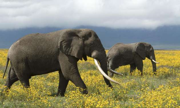 Smart-Animal-Elephants