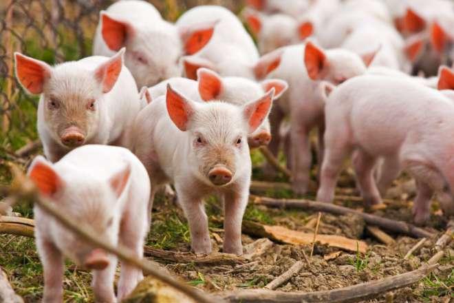 Smart-Animal-Pigs