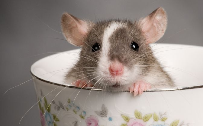 Smart-Animal-Rats