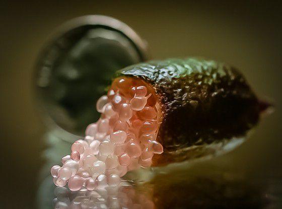 Rare-Exotic-Fruit-Australian-finger-lime