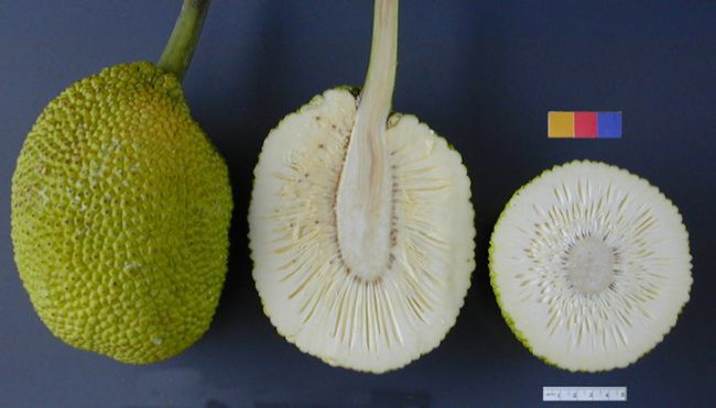 Rare-Exotic-Fruit-Breadfruit