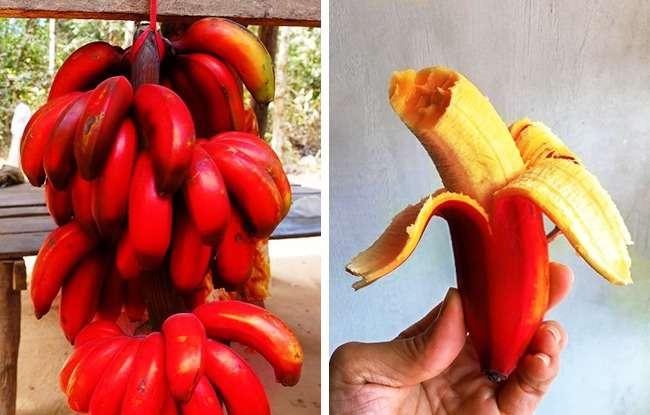 Rare-Exotic-Fruit-Red-bananas