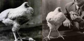 Miracle Mike - The Headless Chicken (1)
