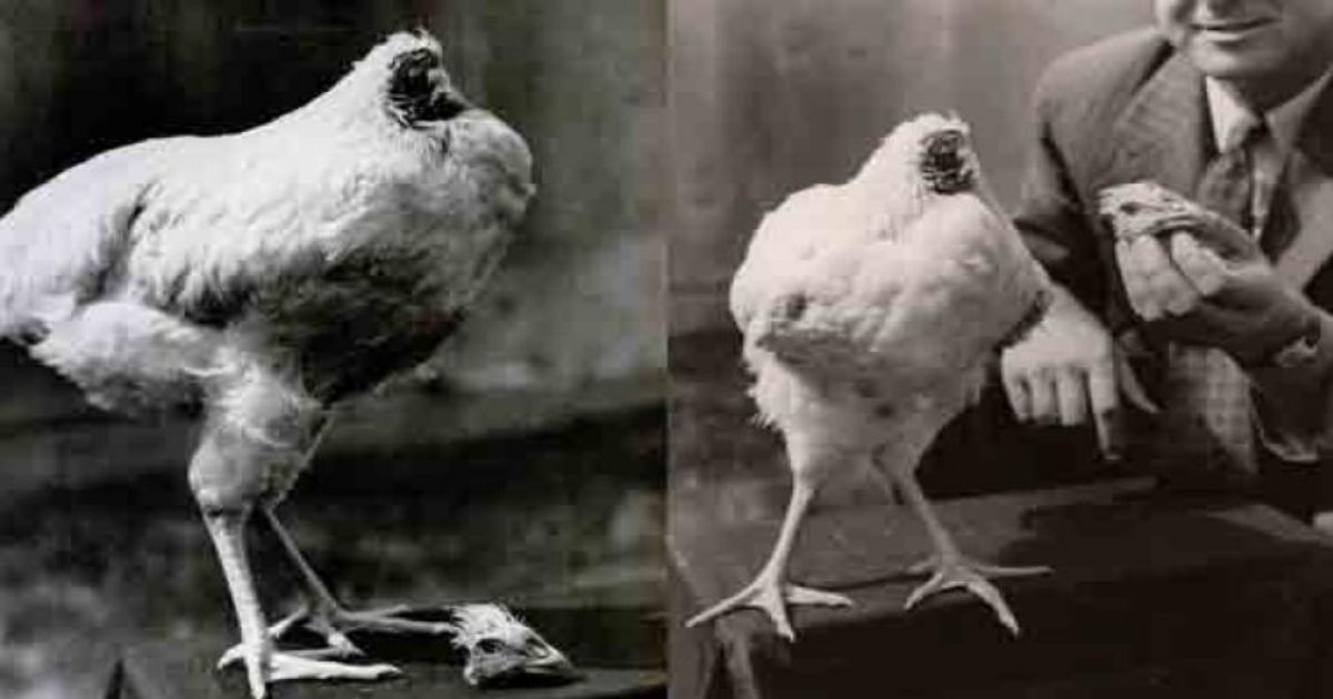 Miracle-Mike-The-Headless-Chicken-1