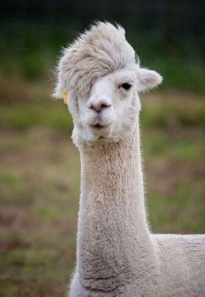 Hipster-Alpaca