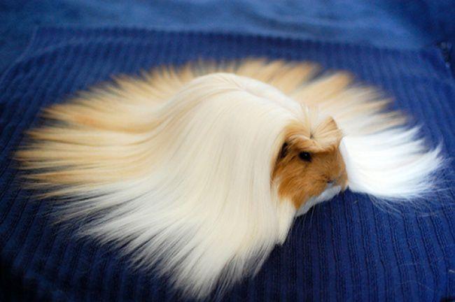 Long-Haired-Guinea-Pig