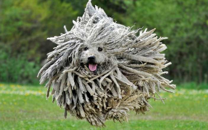 Puli-Dog
